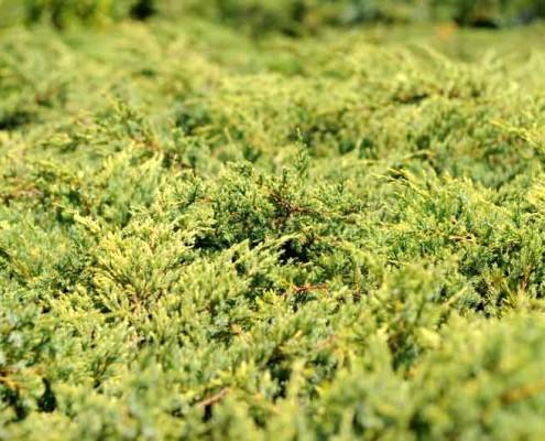 Jałowiec szkółka roślin iglastych lubelskie Bełżyce Motycz Lublin