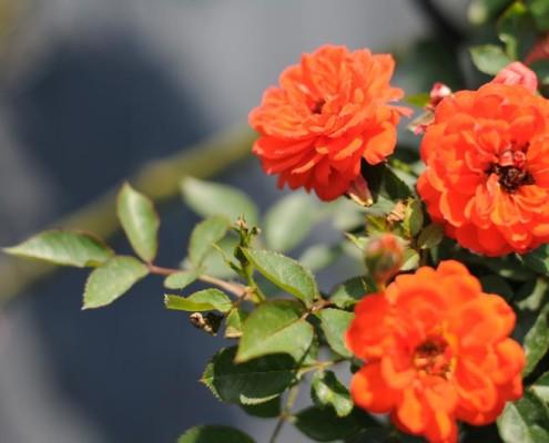 MIGROLA producent róż lubelskie