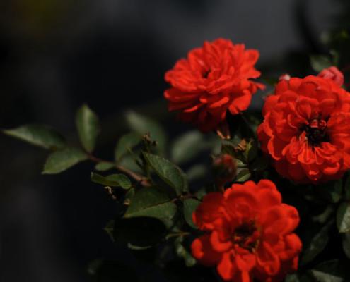 MIGROLA uprawa szkółka hodowla róż lubelskie Lubin