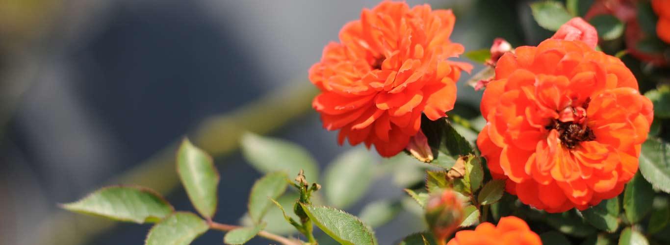 Migrola róże krzewy lubelskie lublin