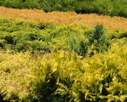 Migrola szkółka roślin iglastych lubelskie