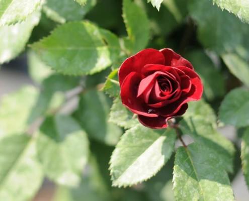 Producent róż MIGROLA lubelskie