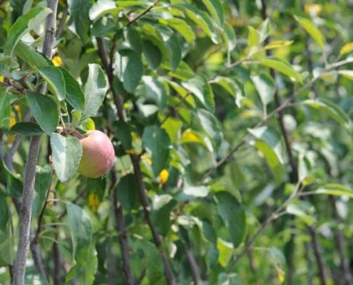 Drzewa owocowe lubelskie MIGROLA