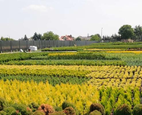 krzewy iglaste producent Migrola lubelskie Lubln