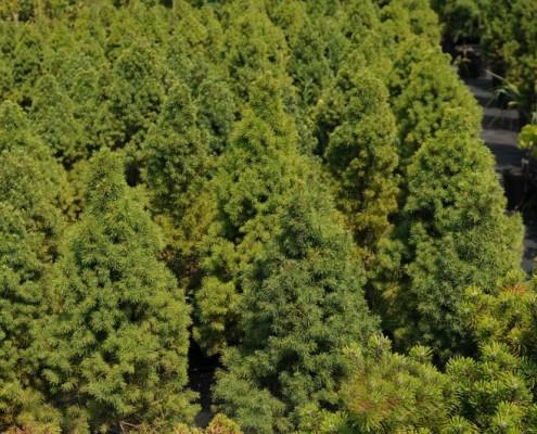 producent krzewów iglastych lubelskie Bełżyce Lublin