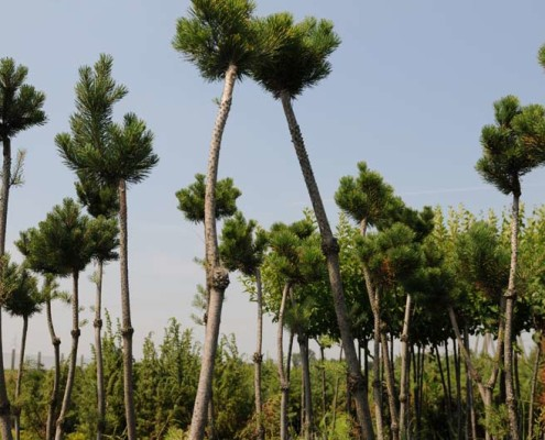 szkółka drzew iglastych lubelskie Bełżyce Lublin