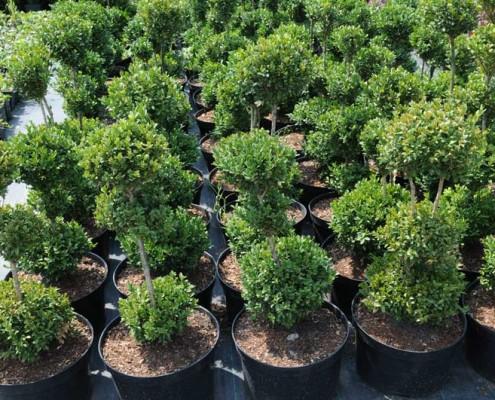 Bukszpan Szkółka drzew liściastych lubelskie