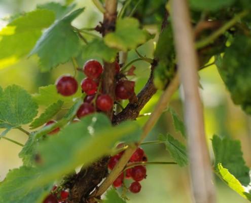 krzewy owocowe porzeczka. MIGROLA lubelskie