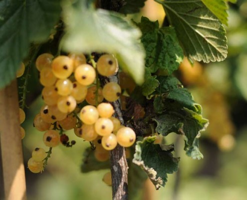 szkółka krzewów owocowych MIGROLA Lubelskie