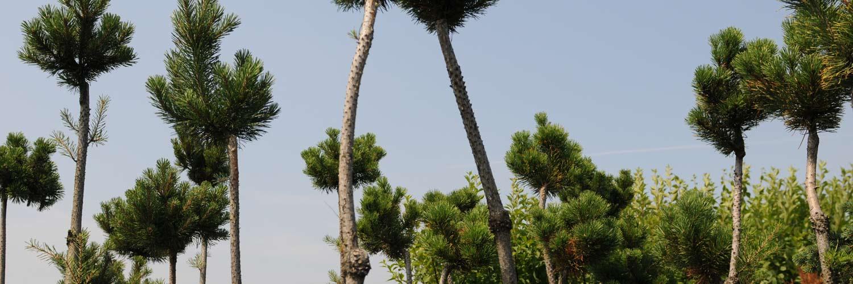 migrola Szkółka roślin iglastych lubelskie Bełżyce Motycz Lublon
